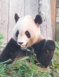 パンダ、笹の葉食す。
